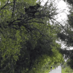 Video: Black bear hangs out directly above oblivious athletes at B.C. race